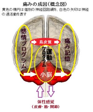 Cerebellum9